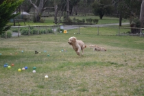 Banksia Park Puppies Snooky