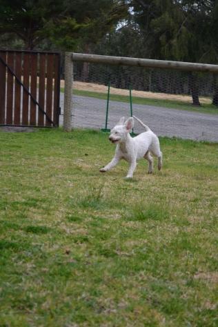 Banksia Park Puppies April