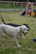 Banksia Park Puppies April and Annabelle