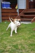 Banksia Park Puppies April and Monty