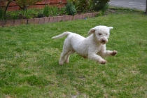Banksia Park Puppies Faybelle