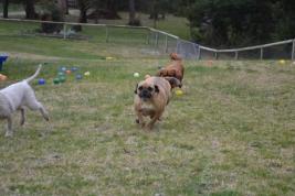 Banksia Park Puppies Monty - 10610