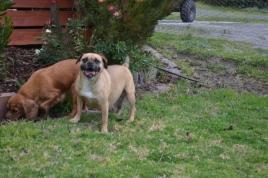 Banksia Park Puppies Monty - 10635