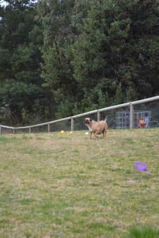 Banksia Park Puppies Monty - 10640