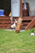 Banksia Park Puppies Monty April Shez - 11663