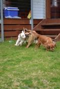 Banksia Park Puppies Monty April Shez - 11664