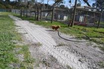 Banksia Park Puppies Ashton