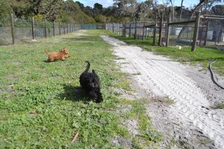 Banksia Park Puppies Ashton and Mati