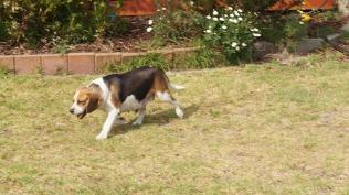 Banksia Park Puppies mum Obi