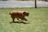 Banksia Park Puppies Scout
