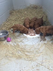 cavoodles eating banksia park puppies