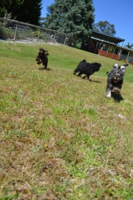 Banksia Park Puppies Looly Loopy Lulu Lila Shorty Safa