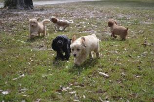 Banksia Park Puppies Swoosh Ariel