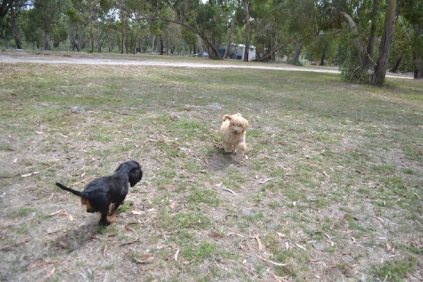 Banksia Park Puppies Ariel Sharon