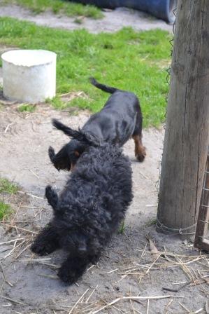 Banksia Park Puppies Mati and Pruefull - 1 of 2