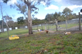 banksia-park-puppies-pavati-10-of-35