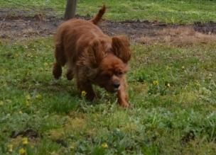 banksia-park-puppies-pavati-16-of-35