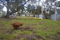 banksia-park-puppies-pavati-27-of-35