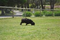 banksia-park-puppies-pruefull-1-of-36