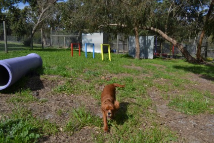 Banksia Park Puppies Punky