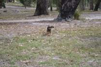 Banksia Park Puppies Sharon