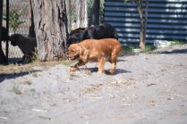 Banksia Park Puppies Sherry - 1 of 11 (5)