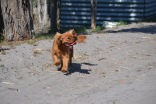 Banksia Park Puppies Sherry - 1 of 11 (9)