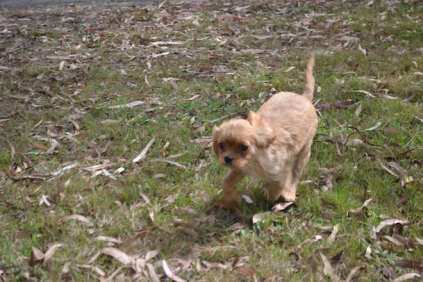 Banksia Park Puppies Sherry 2