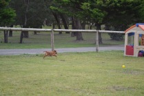 Banksia Park Puppies Sherry - 3 of 22