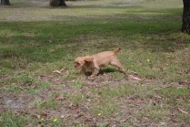 Banksia Park Puppies Sherry 3