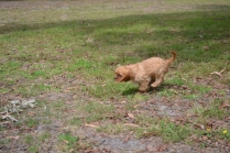 Banksia Park Puppies Sherry 4