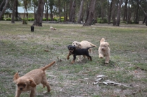 Add New Page ‹ Banksia Park Puppies — WordPress