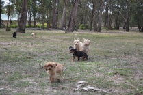 Banksia Park Puppies Sherry, Sharon, Arial