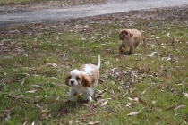 Banksia Park Puppies Sherry