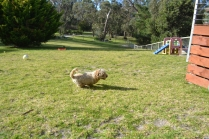 Banksia Park Puppies Simon - 1 of 23