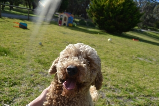 Banksia Park Puppies Simon - 10 of 23