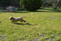Banksia Park Puppies Simon - 4 of 23