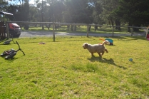 Banksia Park Puppies Simon - 5 of 23