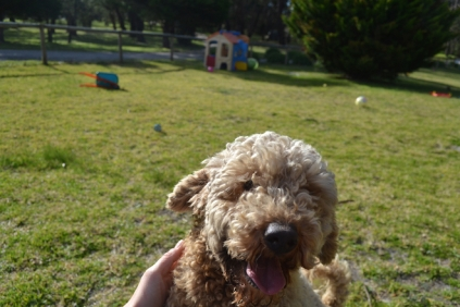 Banksia Park Puppies Simon - 9 of 23