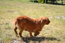 Banksia Park Puppies Nutsy