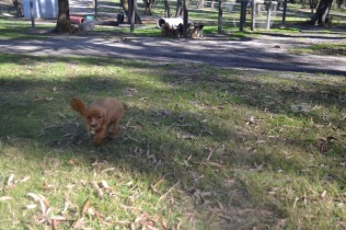 Banksia Park Puppies Pavati