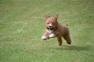 Banksia Park Puppies Jasper