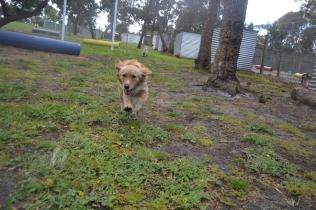 banksia-park-puppies-oopski-11-of-21