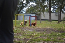 banksia-park-puppies-oopski-19-of-21