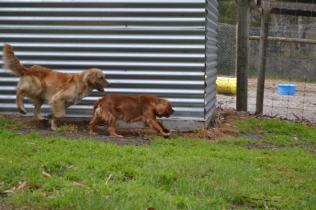 banksia-park-puppies-oopski-21-of-21