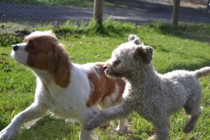 Banksia Park Puppies Tyrone and Trinda - 4