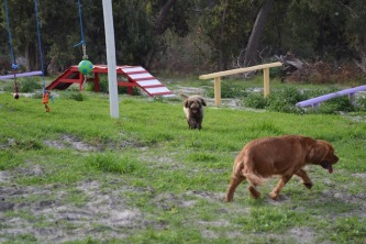 Banksia Park Puppies Cosmic - 3 of 9