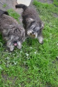 Banksia Park Puppies Lolly Lulu