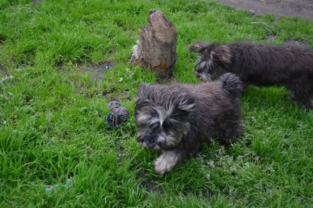 banksia-park-puppies-lolly-lulu-24-of-31