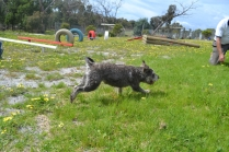 banksia-park-puppies-loopy-9-of-15
